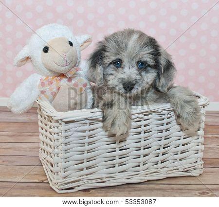 Cute Little Assie-poo Puppy