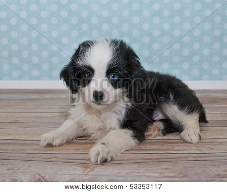 Cute Little Black And White Puppy