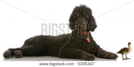 Black Standard Poodle And Mallard Duck