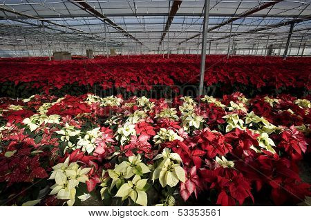 red and white poinsettia plants inside a greenhouse