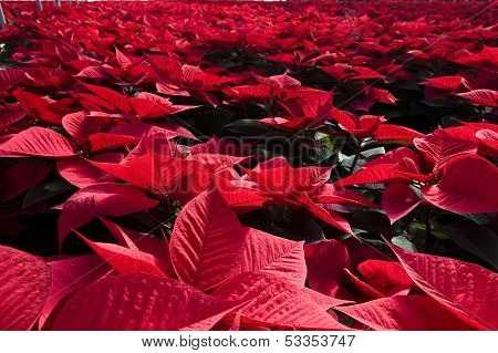 poinsettia plants inside a green house