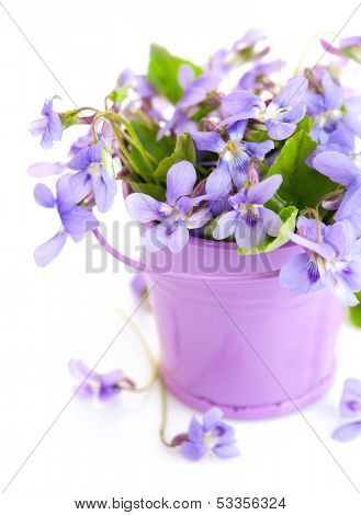 spring flower violet with leaf in little bucket isolated on white background