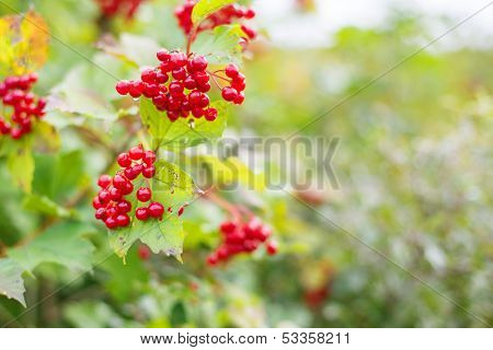 Rowanberry In Autumn Forest Hanging On Branch