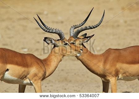 Impala - Wildlife Background from Africa - Symmetry in a brother ram