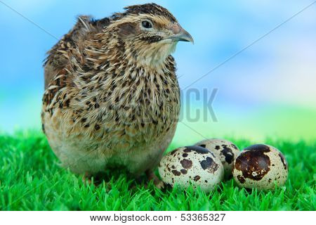 Young quail with eggs on grass on blue background