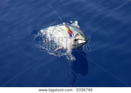 Blue Fin Tuna Mediterranean Fishing And Release