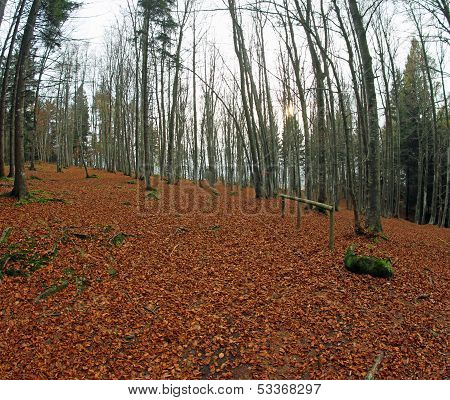 Woods With Plenty Of Died Leaves And Bare Trees