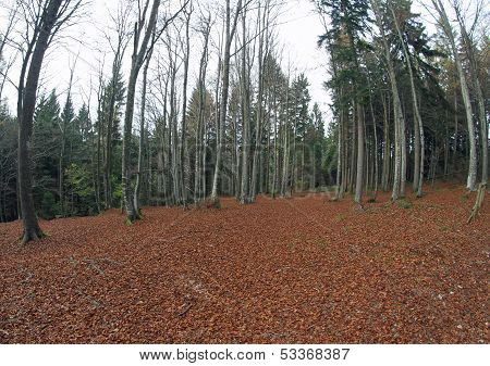 Woods With Plenty Of Dried Leaves And Bare High Trees