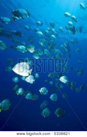 Ocean And Orbicular Spadefish