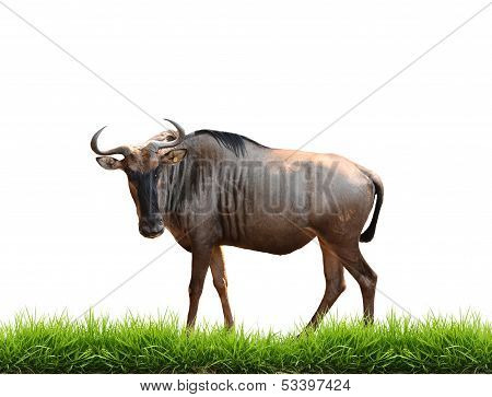 Wilderbeest With Green Grass Isolated