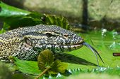 pic of monitor lizard  - A head - JPG
