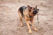 stock photo of alsatian  - alsatian dog playing and pulling the rope
