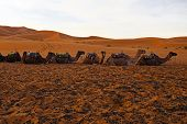 picture of hump day  - Camels in the Erg Chebbi desert in Morocco Africa at sunset - JPG