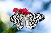 stock photo of nymph  - Paper Kite Rice Paper or Large Tree Nymph butterfly (Idea leuconoe) a large tropical butterfly from Southeast Asia feeding on red flowers.