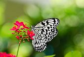 pic of nymph  - Paper Kite Rice Paper or Large Tree Nymph butterfly  - JPG