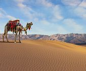 picture of dromedaries  - Gorgeous dromedary smiling on the sand dunes - JPG