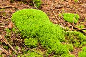 image of lichenes  - Green forest with old trees with lichen and moss - JPG