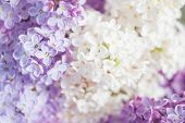 picture of lilac bush  - close up beautiful lilac background with light violet and white flowers - JPG