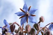 pic of borage  - Borage flowers (starflowers) in close up with sky in the background
