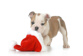 picture of christmas puppy  - christmas puppy  - JPG