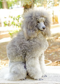 stock photo of snob  - A close up of a small beautiful and adorable silver gray Miniature Poodle dog - JPG