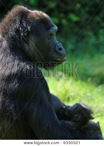 Gorilla Breast Feeding Her Baby