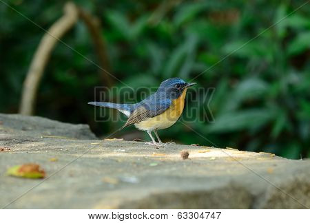 Male Hill Blue Flycatcher
