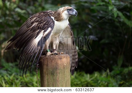 The Filipino eagle is a very rare and endangered species living in the Davao province in Philippines.