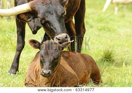 Longhorn Calves