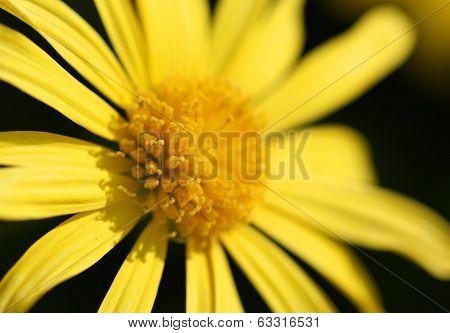 Cute Yellow Doronicum Flower Macro Shot