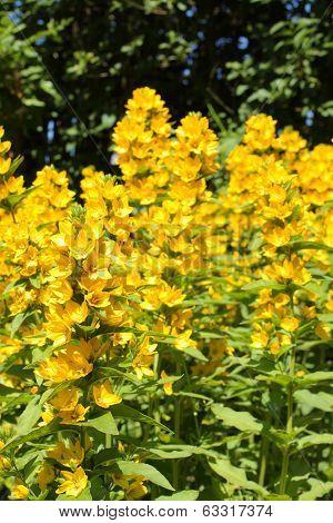 Loosestrife (Lysimachia punctata) blossom in the garden