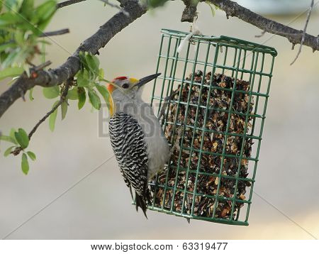 Male Golden-fronted Woodpecker (melanerpes Aurifrons)
