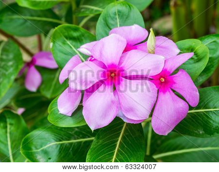 beautiful vinca flower