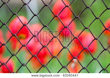 Background tulips