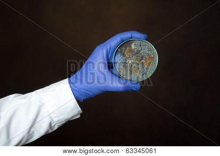 Petri Dish With Penicillium Fungi
