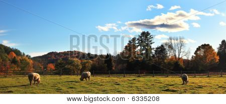 Panoramic View Of Fall Meadow With Sheeps