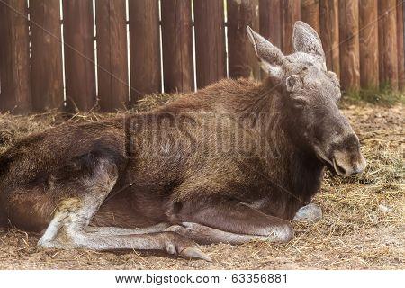 Eurasian elk resting