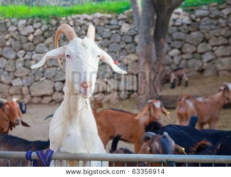 White Goat Hunting Food