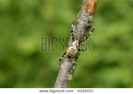 Black And Yellow Striped Spider In A Tree