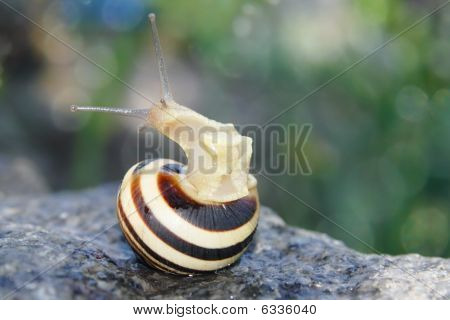Snail Looking Out From It's House