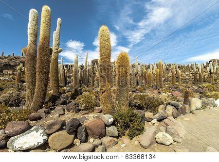 Group Of Cacti In Bolvia