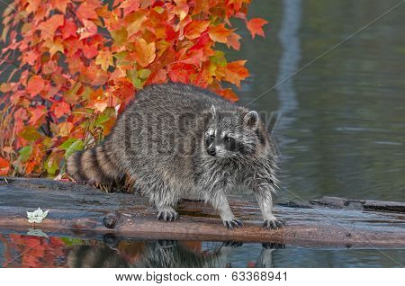 Raccoon (Procyon lotor) Stands On Log In Pond Looking Left