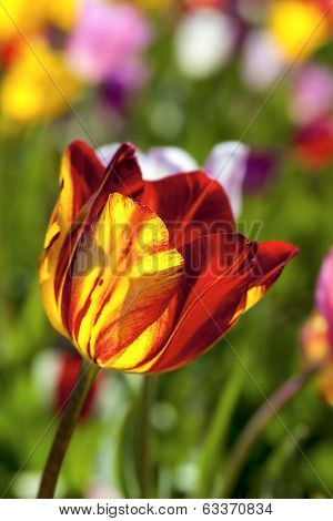 Red And Yellow Tulip Flower Macro