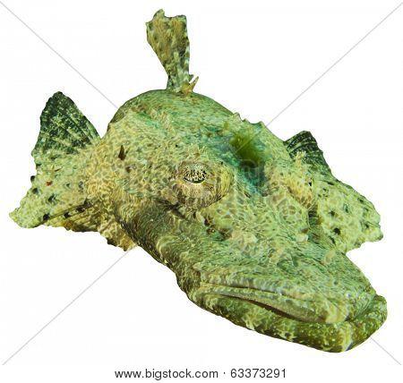 Crocodilefish isolated on white background