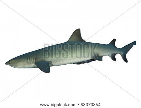 Whitetip Reef Shark isolated on white background