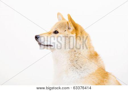 Shiba side profile