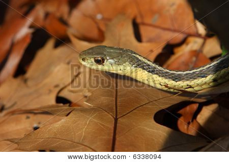 Garter Snake On Leaves