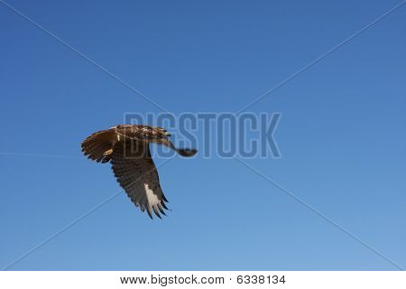 Redtailed Hawk In Flight
