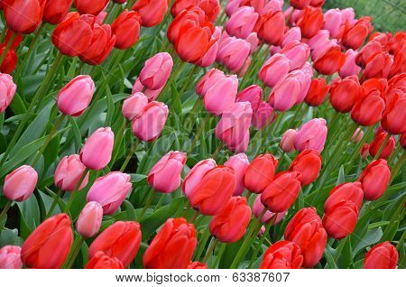 Pink And Red Spring Tulips