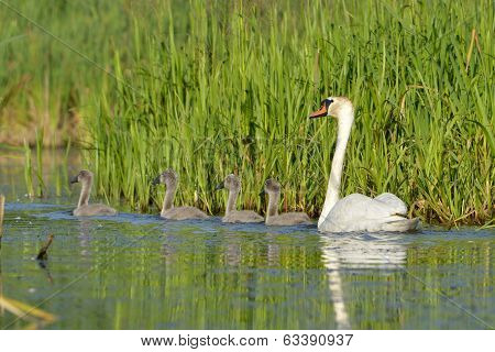 Mute Swan - Cygnus Olor Adult With Four Cygnets